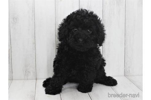 トイプードルの子犬(ID:1259511008)の3枚目の写真/更新日:2019-01-29