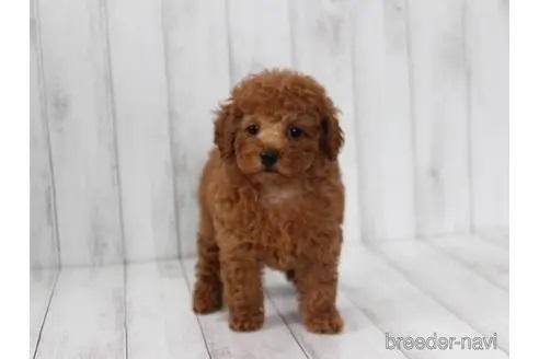 トイプードルの子犬(ID:1259511012)の1枚目の写真/更新日:2021-09-16