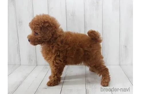 トイプードルの子犬(ID:1259511012)の2枚目の写真/更新日:2021-09-16