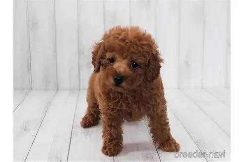 トイプードルの子犬(ID:1259511012)の3枚目の写真/更新日:2021-09-16
