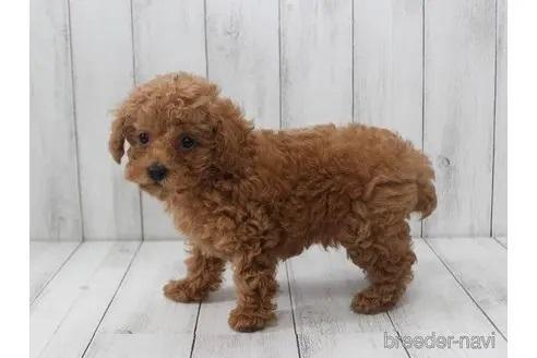 トイプードルの子犬(ID:1259511013)の2枚目の写真/更新日:2021-09-16