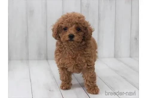 トイプードルの子犬(ID:1259511013)の3枚目の写真/更新日:2021-09-16
