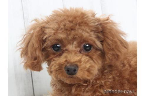 トイプードルの子犬(ID:1259511014)の1枚目の写真/更新日:2021-09-16
