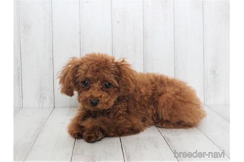 トイプードルの子犬(ID:1259511014)の2枚目の写真/更新日:2021-09-16
