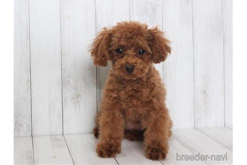 トイプードルの子犬(ID:1259511014)の3枚目の写真/更新日:2021-09-16