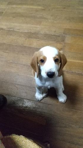 ビーグルの子犬(ID:1259711005)の1枚目の写真/更新日:2021-07-11