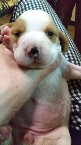 ビーグルの子犬(ID:1259711006)の1枚目の写真/更新日:2021-06-07