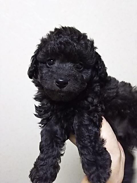 トイプードルの子犬(ID:1259811094)の1枚目の写真/更新日:2017-01-10