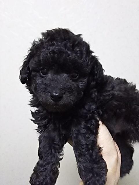 トイプードルの子犬(ID:1259811094)の2枚目の写真/更新日:2017-01-10
