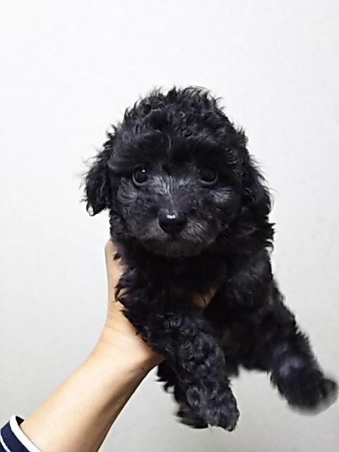 トイプードルの子犬(ID:1259811095)の1枚目の写真/更新日:2017-01-10