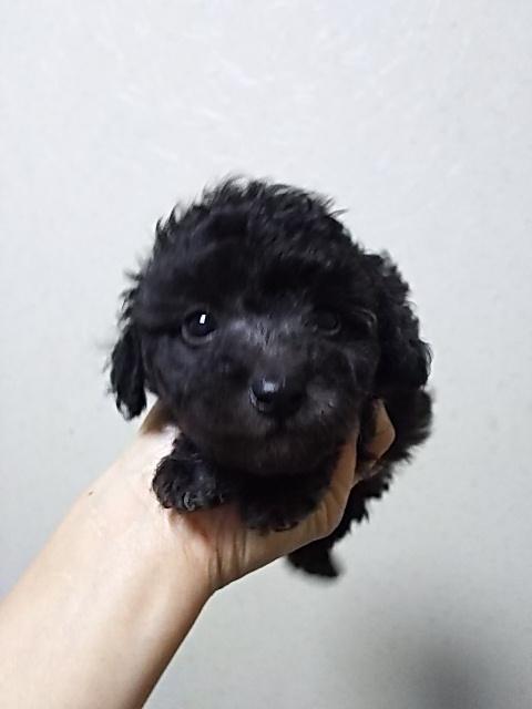 トイプードルの子犬(ID:1259811095)の2枚目の写真/更新日:2017-01-10