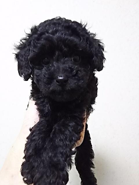 トイプードルの子犬(ID:1259811105)の2枚目の写真/更新日:2017-02-05
