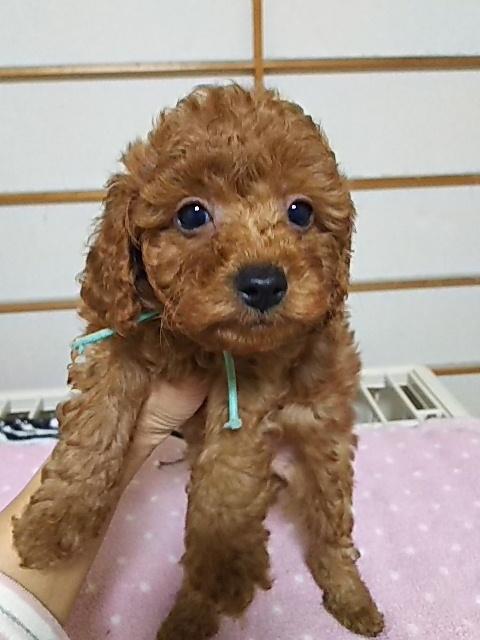 トイプードルの子犬(ID:1259811107)の1枚目の写真/更新日:2017-02-22