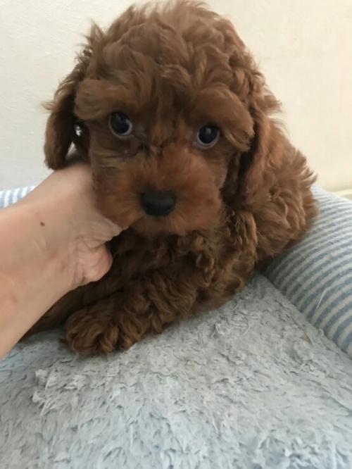 トイプードルの子犬(ID:1259811112)の2枚目の写真/更新日:2017-05-20