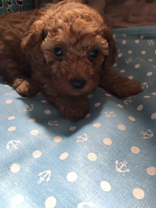 トイプードルの子犬(ID:1259811113)の1枚目の写真/更新日:2017-06-04