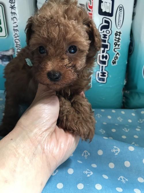 トイプードルの子犬(ID:1259811114)の1枚目の写真/更新日:2017-06-04