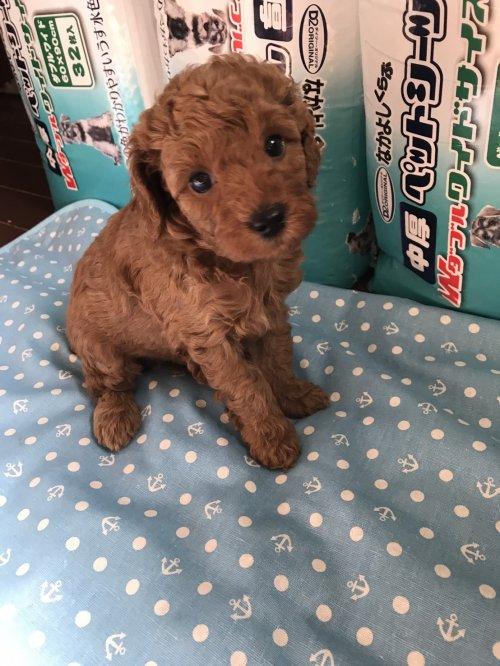 トイプードルの子犬(ID:1259811117)の1枚目の写真/更新日:2017-06-04