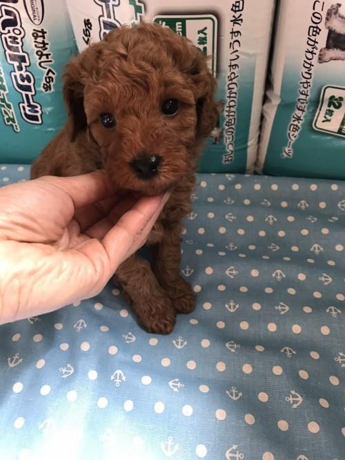 トイプードルの子犬(ID:1259811117)の2枚目の写真/更新日:2017-06-04