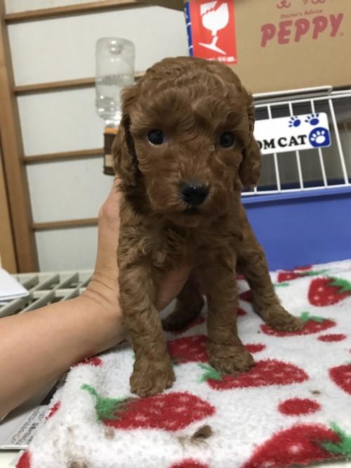 トイプードルの子犬(ID:1259811119)の1枚目の写真/更新日:2017-05-29