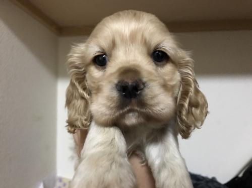 アメリカンコッカースパニエルの子犬(ID:1259811120)の1枚目の写真/更新日:2017-06-06