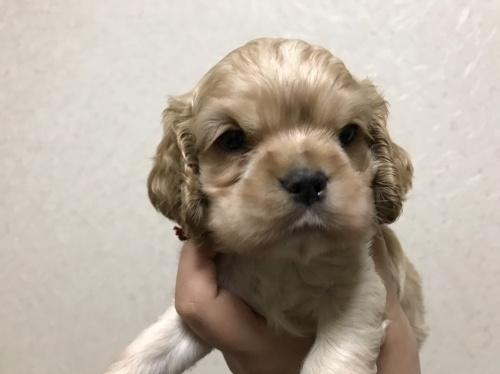 アメリカンコッカースパニエルの子犬(ID:1259811121)の1枚目の写真/更新日:2017-06-06