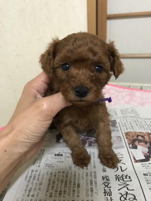 トイプードルの子犬(ID:1259811127)の1枚目の写真/更新日:2017-07-20