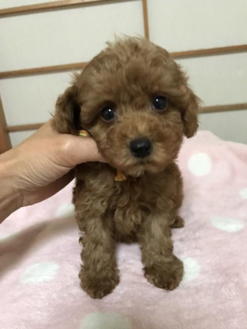 トイプードルの子犬(ID:1259811128)の1枚目の写真/更新日:2017-08-09