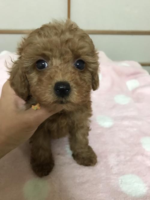 トイプードルの子犬(ID:1259811128)の2枚目の写真/更新日:2017-08-09