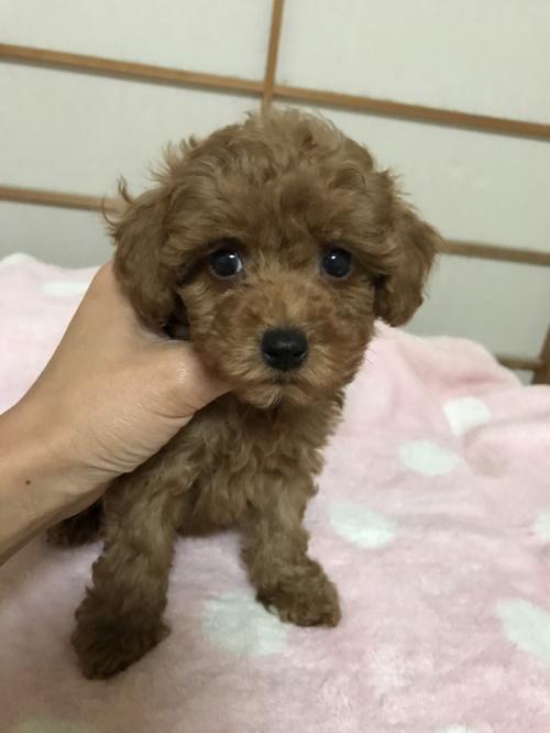トイプードルの子犬(ID:1259811128)の3枚目の写真/更新日:2017-08-09
