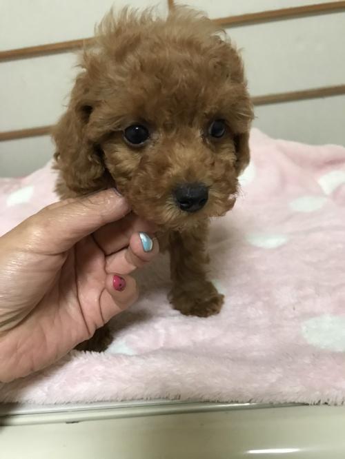 トイプードルの子犬(ID:1259811129)の3枚目の写真/更新日:2017-08-09