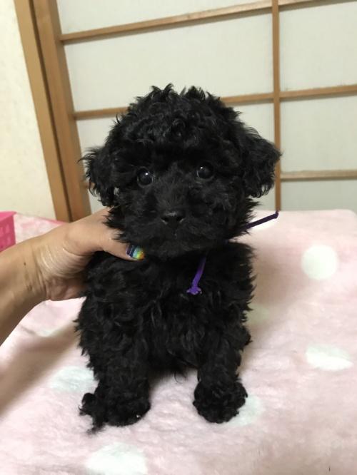トイプードルの子犬(ID:1259811131)の1枚目の写真/更新日:2017-08-11