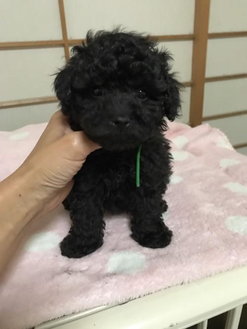 トイプードルの子犬(ID:1259811133)の1枚目の写真/更新日:2017-08-11