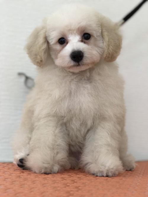 トイプードルの子犬(ID:1259811134)の1枚目の写真/更新日:2017-08-22