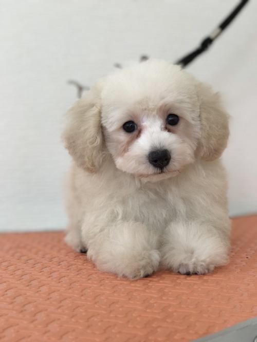 トイプードルの子犬(ID:1259811134)の2枚目の写真/更新日:2017-08-22