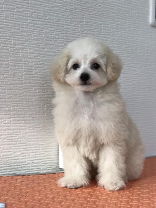トイプードルの子犬(ID:1259811135)の2枚目の写真/更新日:2017-08-22