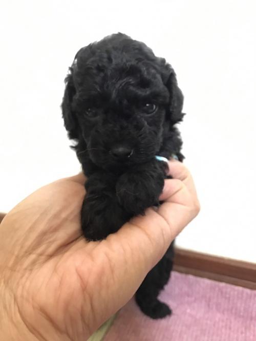 トイプードルの子犬(ID:1259811138)の2枚目の写真/更新日:2017-08-22