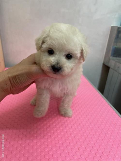 トイプードルの子犬(ID:1259811139)の1枚目の写真/更新日:2017-08-22