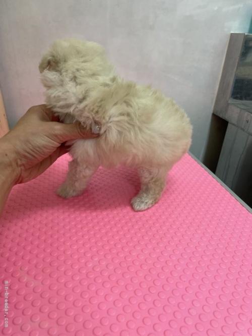 トイプードルの子犬(ID:1259811139)の2枚目の写真/更新日:2017-08-22