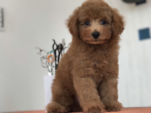 トイプードルの子犬(ID:1259811140)の1枚目の写真/更新日:2017-09-23