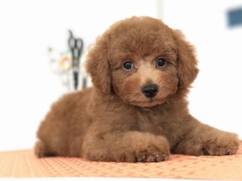 トイプードルの子犬(ID:1259811140)の2枚目の写真/更新日:2017-09-23
