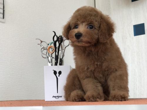 トイプードルの子犬(ID:1259811140)の3枚目の写真/更新日:2017-09-28