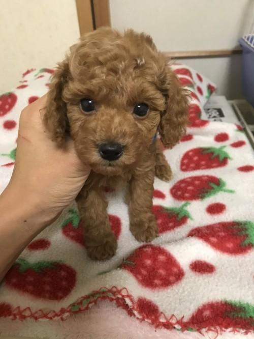 トイプードルの子犬(ID:1259811142)の1枚目の写真/更新日:2017-09-23