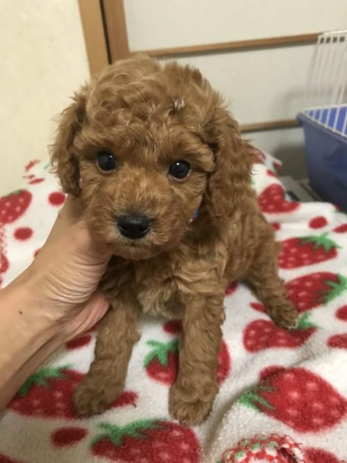 トイプードルの子犬(ID:1259811142)の2枚目の写真/更新日:2017-09-23