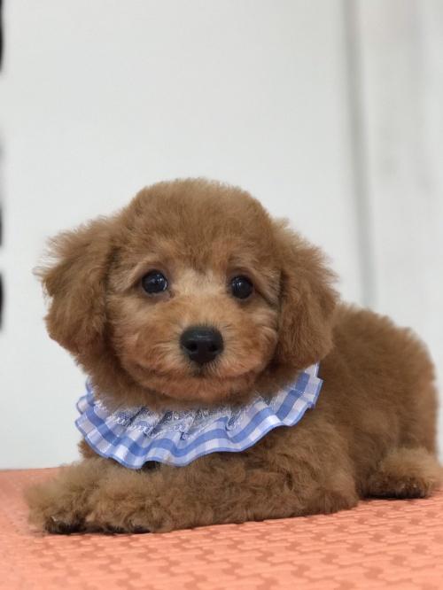 トイプードルの子犬(ID:1259811143)の1枚目の写真/更新日:2017-10-23