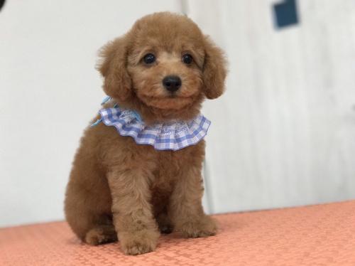 トイプードルの子犬(ID:1259811143)の2枚目の写真/更新日:2017-10-23