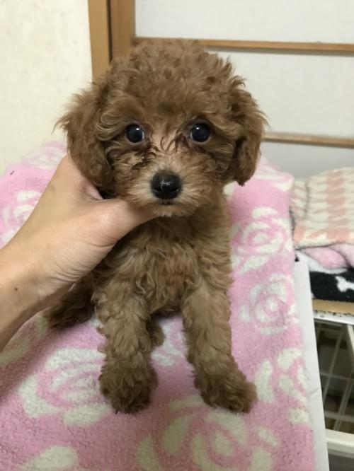 トイプードルの子犬(ID:1259811146)の1枚目の写真/更新日:2017-10-26