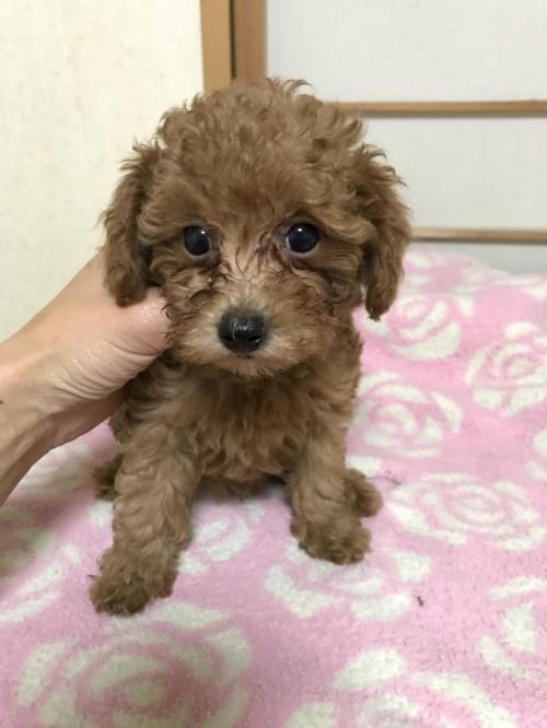 トイプードルの子犬(ID:1259811146)の2枚目の写真/更新日:2017-10-26