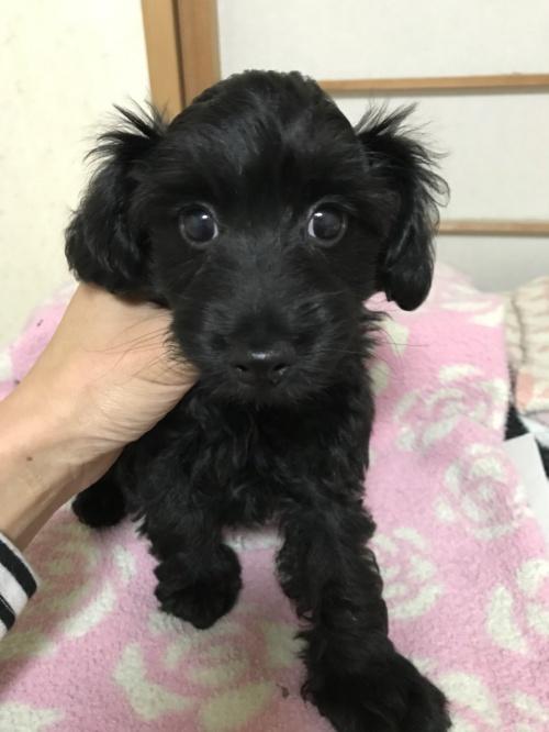 ミックスの子犬(ID:1259811148)の1枚目の写真/更新日:2017-10-26
