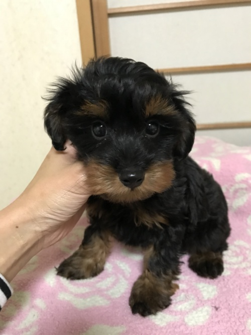 ミックスの子犬(ID:1259811149)の2枚目の写真/更新日:2017-10-26