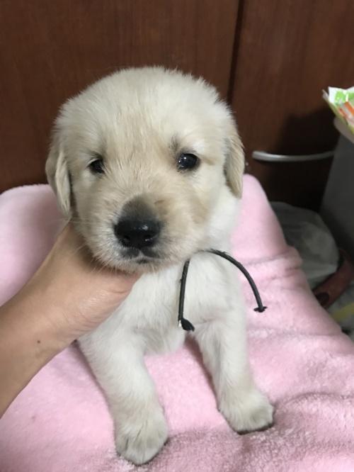 ゴールデンレトリバーの子犬(ID:1259811150)の1枚目の写真/更新日:2017-10-12